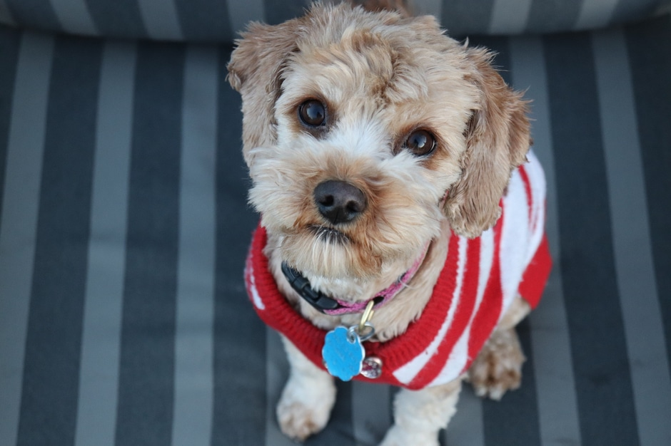 Dog wearing a sweater and pet tag